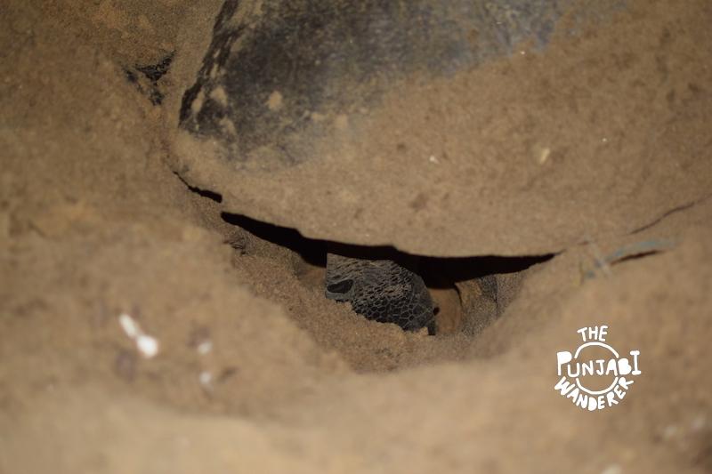 Digging the nest. - Turtles in Odisha - The punjabi wanderer