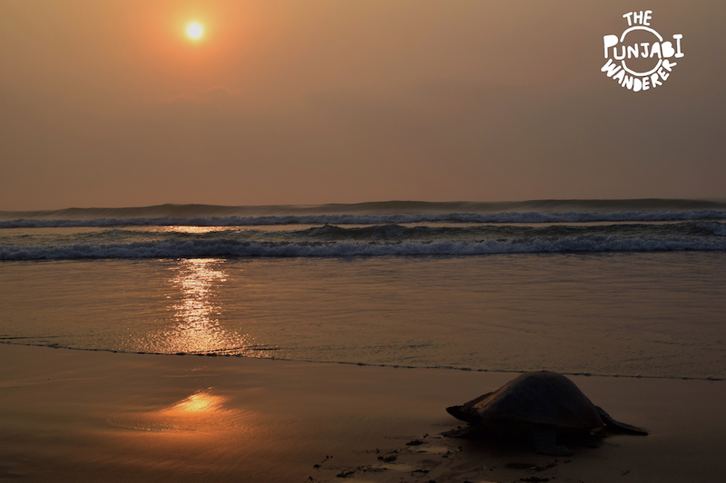 Job well done ! - Turtles in Odisha - The Punjabi Wanderer