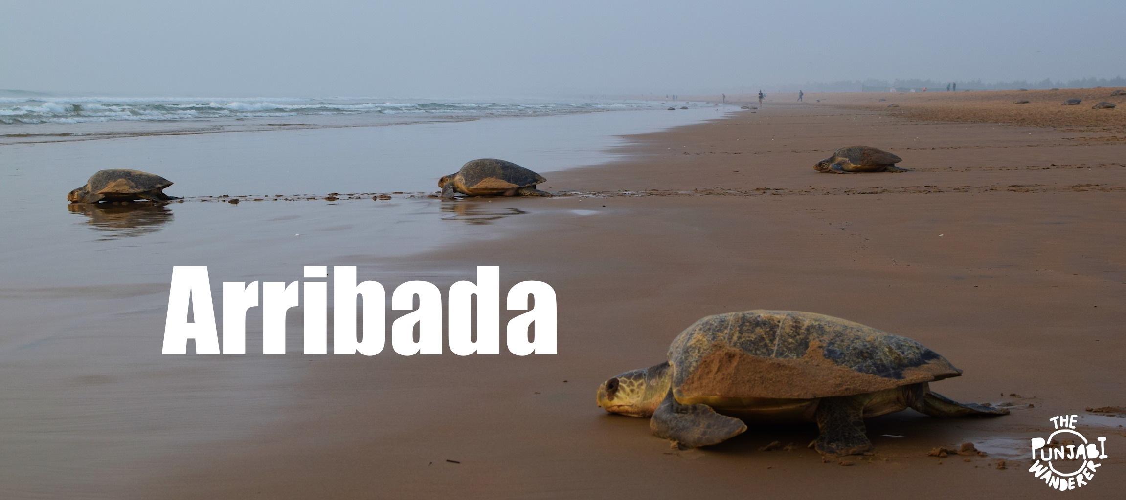 Arribada In Odisha - The Punjabi Wanderer