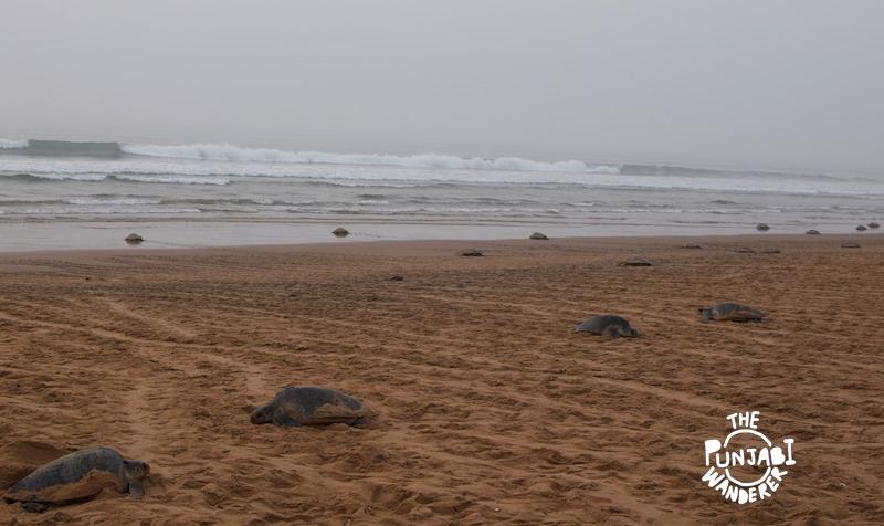 Sea of Turtles - Turtles in Odisha - The Punjabi Wanderer